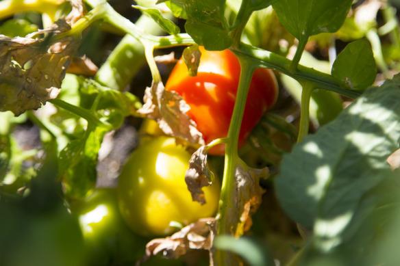 Tomatoes going through veraison