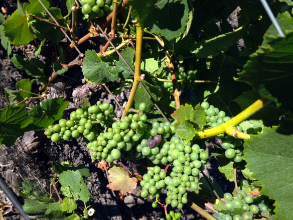 Grapes-veraison