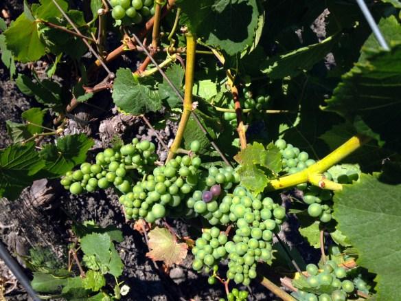 Grapes-veraison